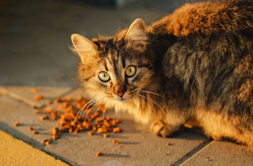 Best Dry Cat Food for Indoor Cats: Royal Canin vs. Purina Pro Plan vs. Hill's
